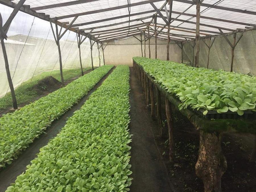 где растёт табачёк у SIGLO DE ORO