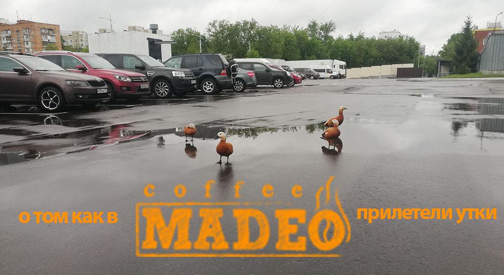 о том как в MADEO прилетели утки …