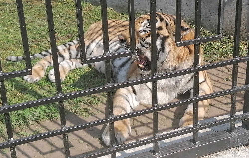 тигр для ОРЛОВСКОГО